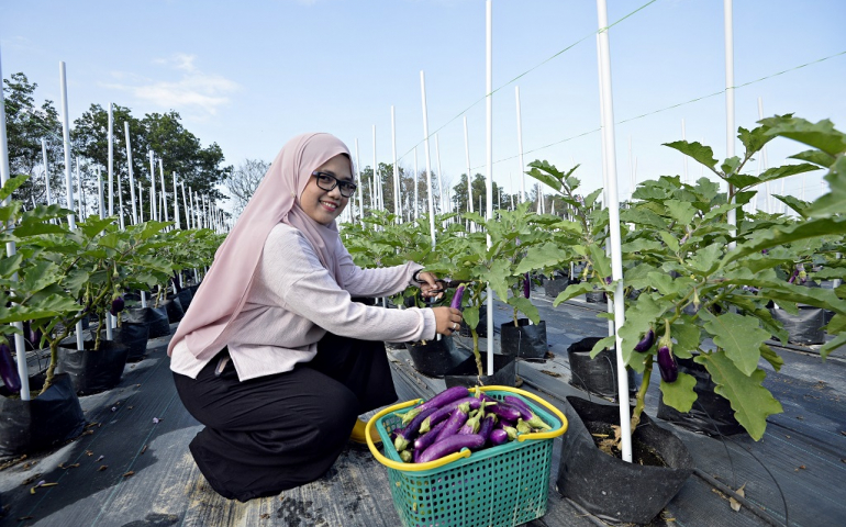 Eggplant planting using fertigation technology in UMP campus